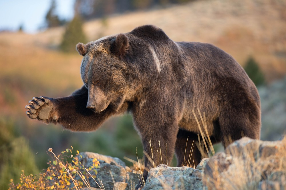 Grizzly bear. Stock photo by Dennis Donohue.
