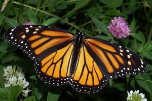 Female Monarch butterfly (Wikipedia photo)