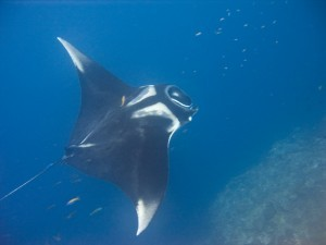 Manta Ray (Wikipedia photo)