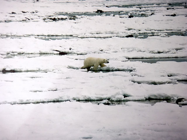 A Polar bearwalks over newly  formed sea ice at w:Hudson Bay,Churchill. (Wikipedia photo)
