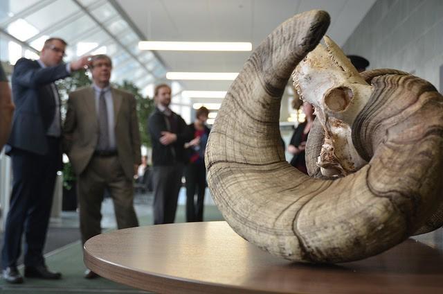 Bighorn sheep skull. Photo courtesy of Alberta News.