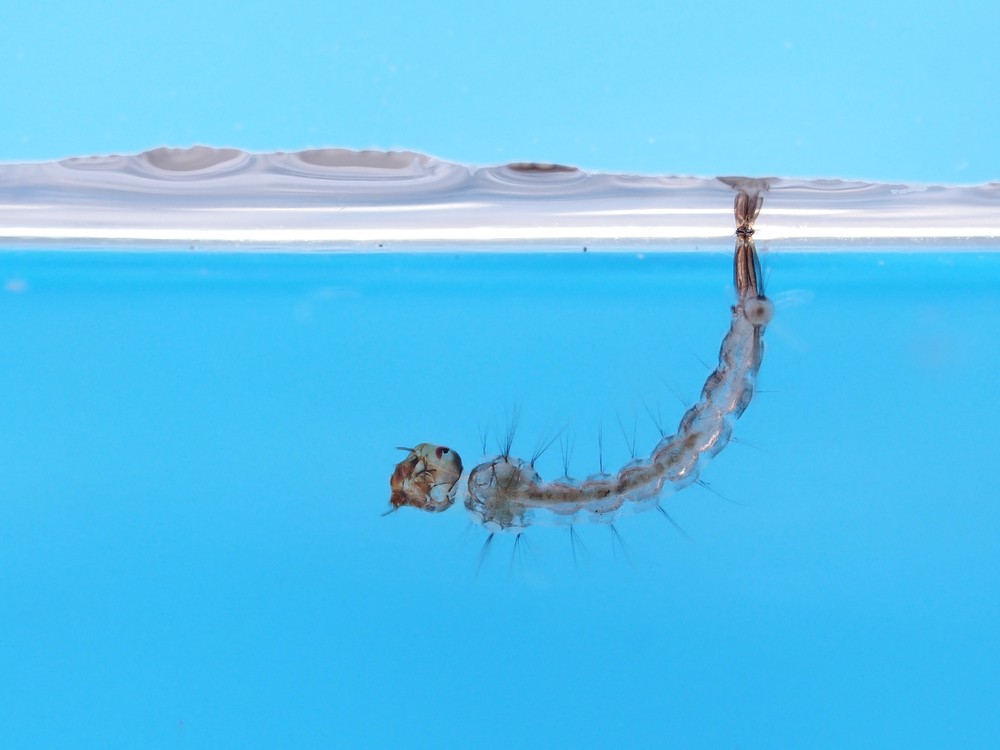 Aedes mosquito larva in water. Stock photo by Amir Ridhwan.