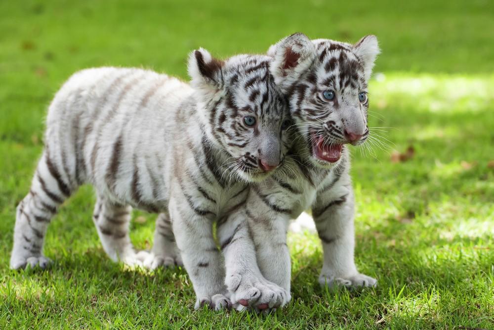 White tiger cubs. File photo: nattanan726 / Shutterstock