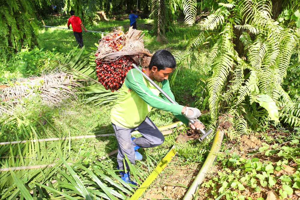 Farmer harvesting for palm oil. ShutterStock image