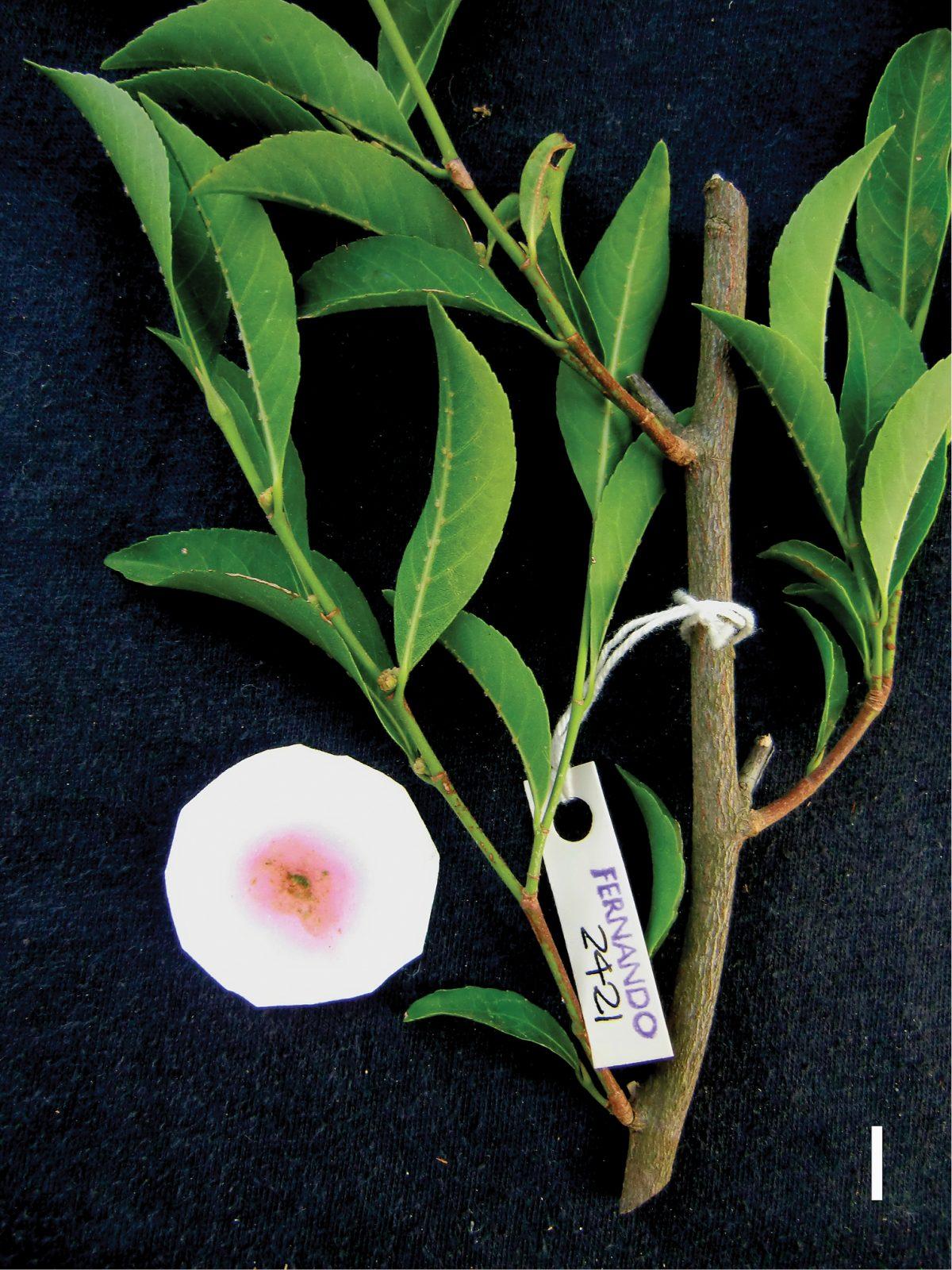 Metal-eating plant named Rinorea niccolifera. Photo by Dr. Edwino S. Fernando / UPLB