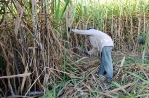 Sugarcane farmer. ShutterStock image