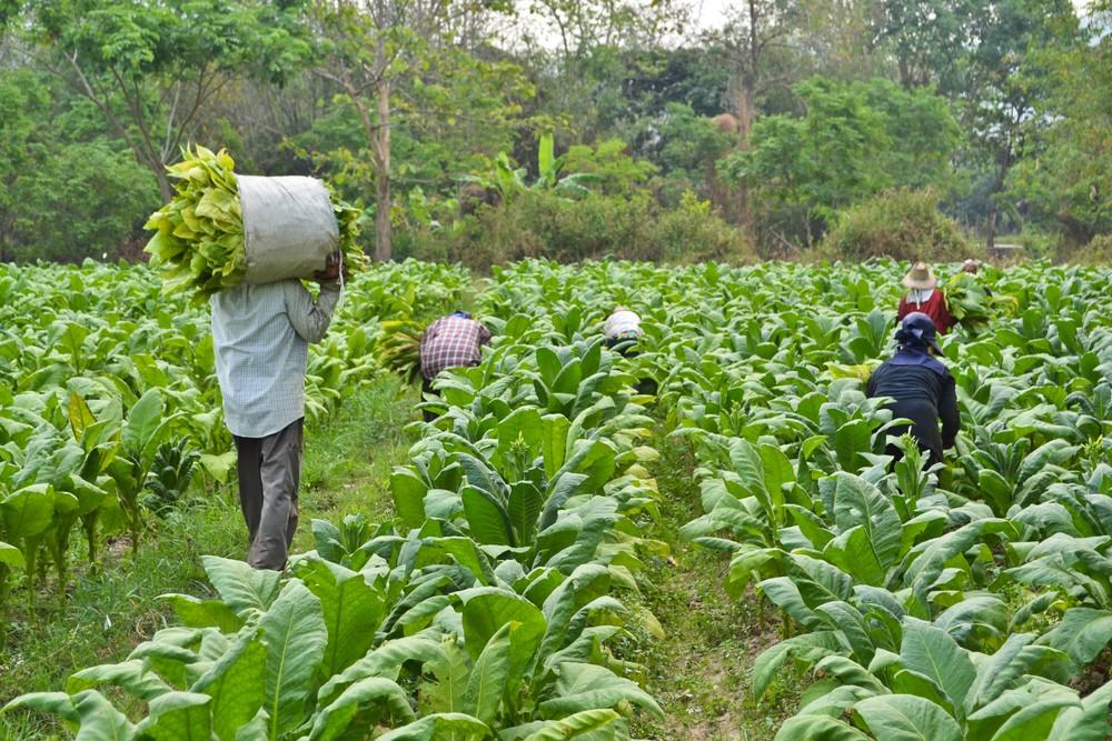 Tobacco farmers. ShutterStock image