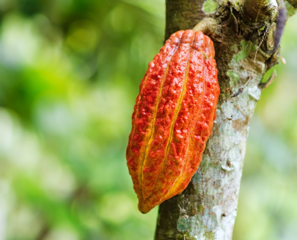 Cacao pod (ShutterStock)