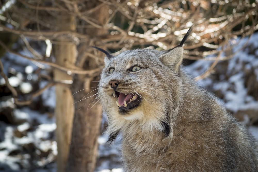 Canadian lynx (ShutterStock image)