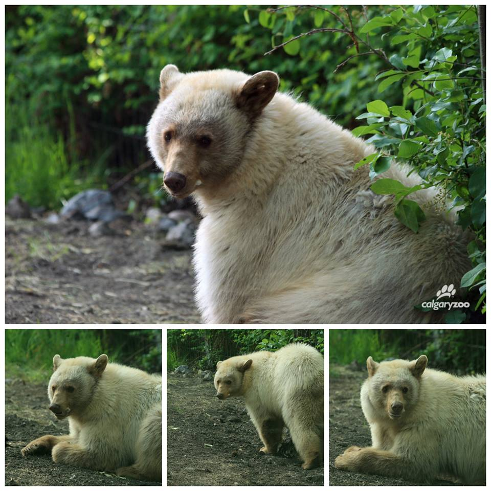 "Help us name our beautiful ""white"" black bear! After a long winter sleep, our newest bear is now out and ready for visitors. Her light colouring often gets her confused with a Kermode or spirit bear, but while she has those same genes, she is not from that specific British Columbian region. We are asking the public to help us name her as she needs a name that is as unique as her colouring! Click here to vote for your favourite name: http://bit.ly/1vbpfhA Photo Credit: Mike Kyffin (Calgary Zoo Facebook page)"