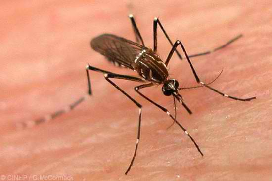 Dengue-carrying mosquito. Photo via Top News / Flickr.