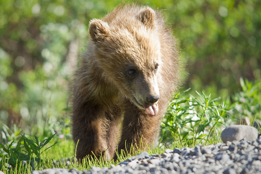 Photo by NPS / Jacob W. Frank / Denali National Park and Preserve / Springer Grizzly Cub.
