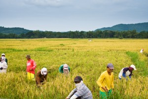 Rice farmers in Batangas. Daniel Zuckerkandel / Shutterstock
