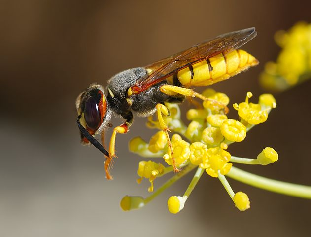 631px-Wasp_August_2007-12