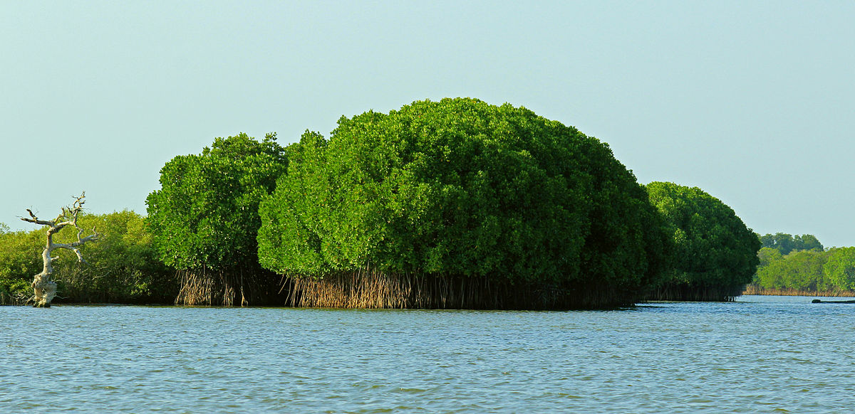 Pichavaram Mangrove forest, India. Photo by Karthik Easvur / Wikimedia Commons.