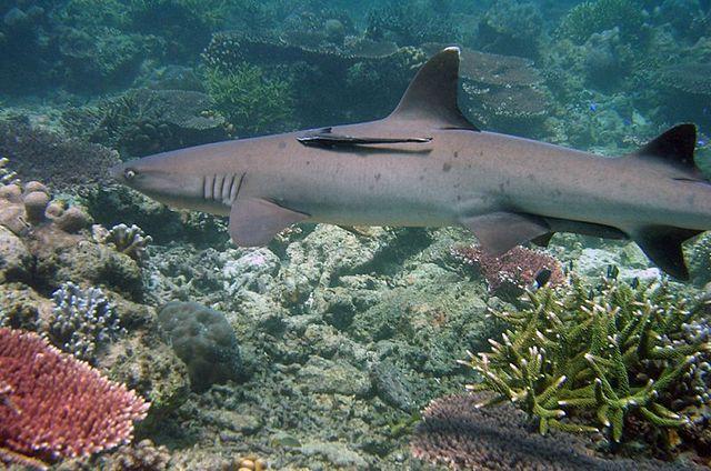 Whitetip reef shark at Tubbataha Reefs Natural Park (Wikipedia Photo)