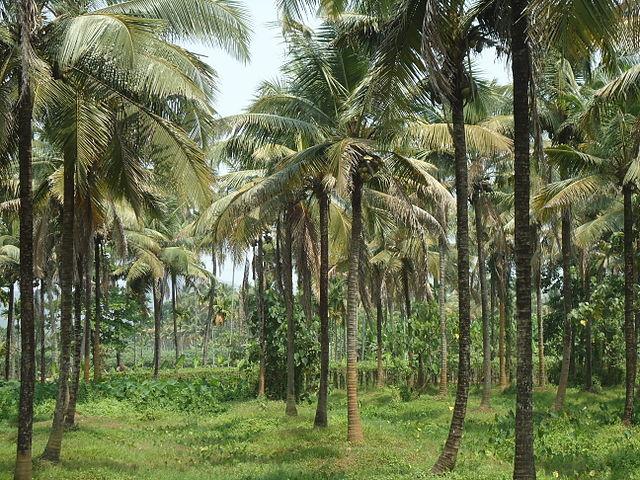 Coconut Farm (Ranjithsiji / Wikipedia)