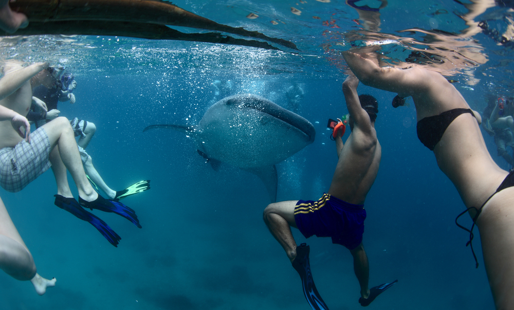 Tourists swimming with whale sharks in Cebu (Shutterstock) DISCLAIMER: It is not advisable to swim closely to whale sharks.