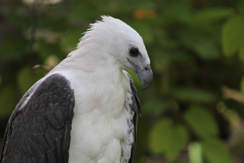 One of the many species of Eagles at the Philippine Eagle Center in Davao (Photo by Yobic Arceta)