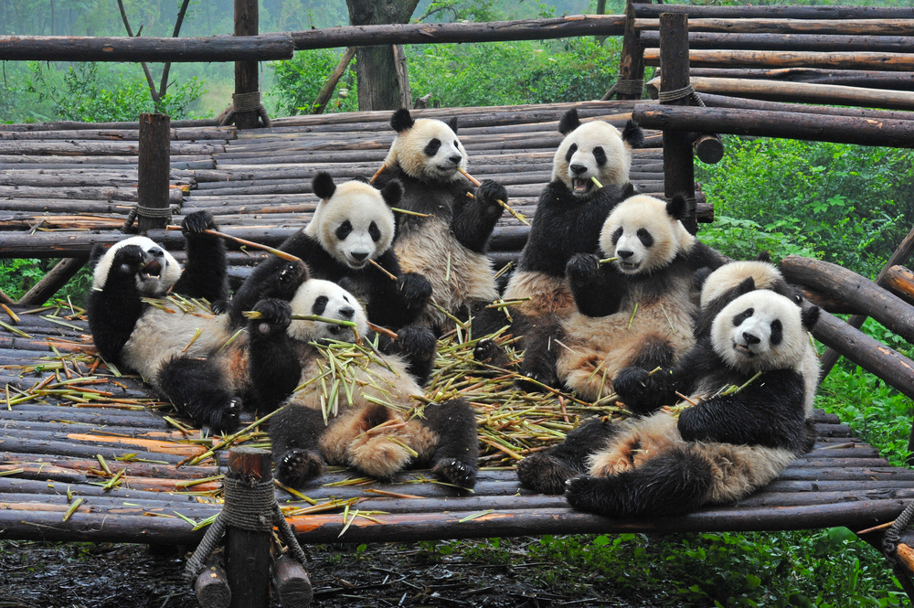 Giant pandas gathering for a meal (shutterstock)