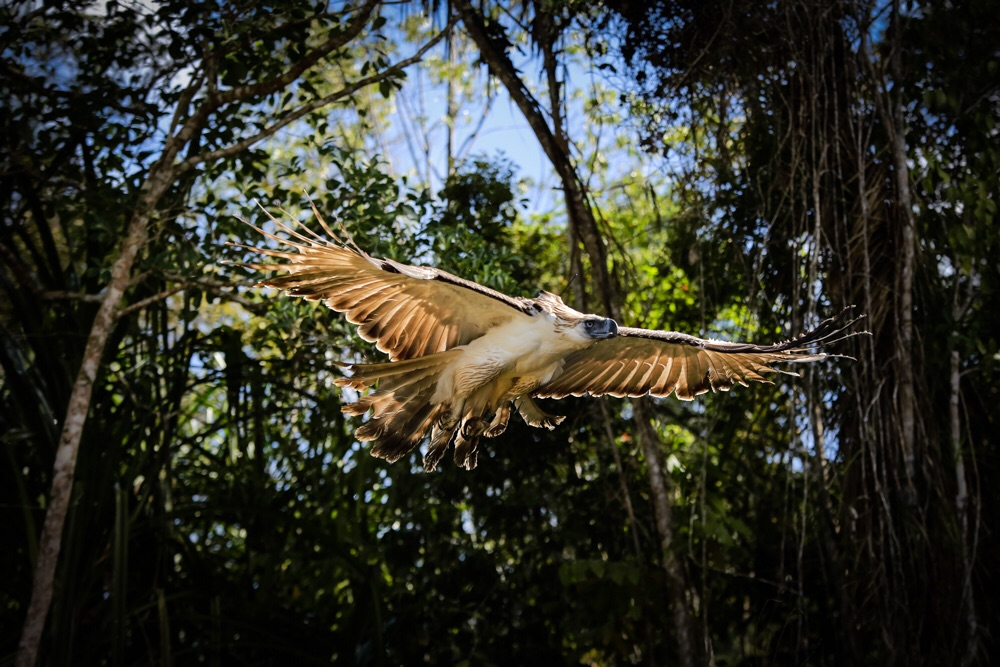 Philippine eagle (PNA photo)