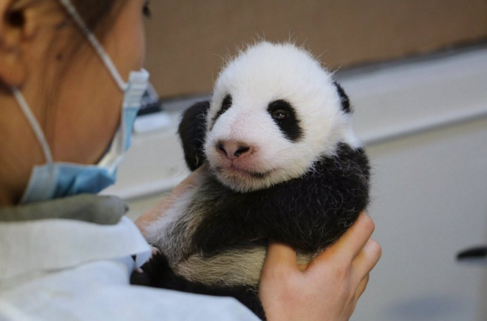 58 days old panda cub at Toronto Zoo opens its eyes for the first time (Photo from Twitter)