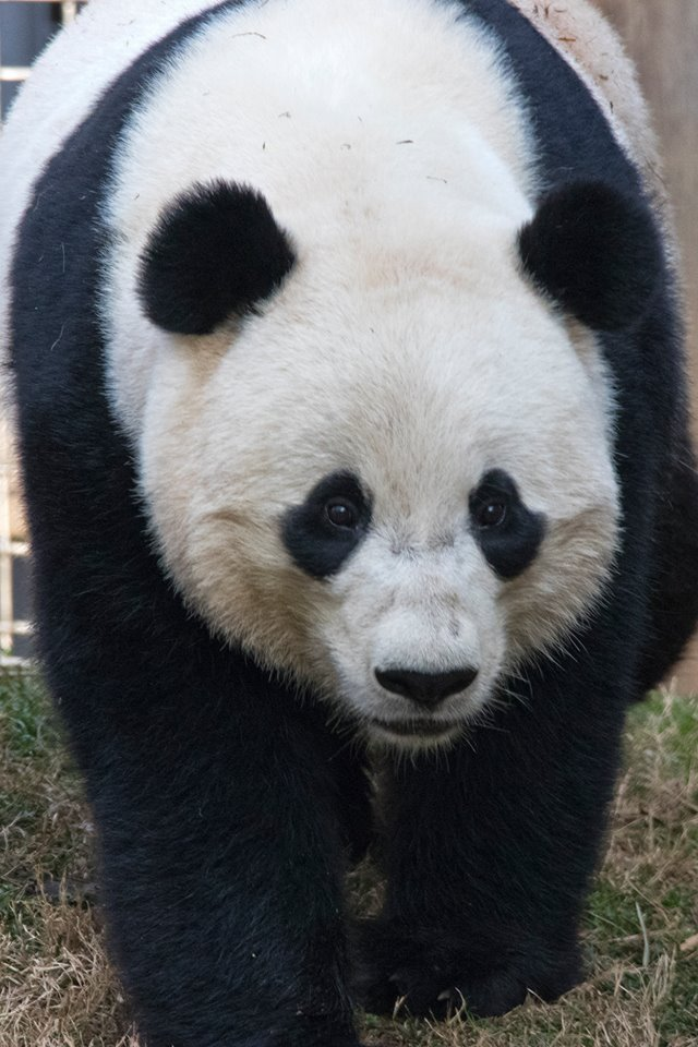 Bao Bao left the zoo Tuesday morning in a special crate and began her 16-hour flight to China on Tuesday afternoon from Washington Dulles International Airport in Virginia. (Photo: DC Zoo Walks/ Facebook)