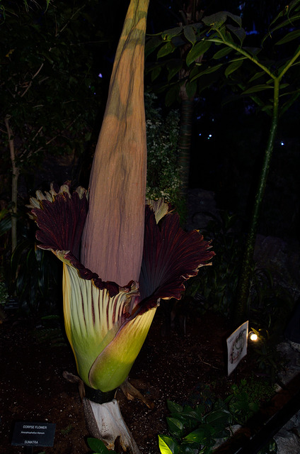 "While fans of the Edmonton Oilers celebrated their team taking a 2-0 lead in their second-round series against the Anaheim Ducks on Friday night, a corpse flower known as ""Putrella"" bloomed at the city's Muttart Conservatory. (Photo: Dennis Haslam/ Flickr)"