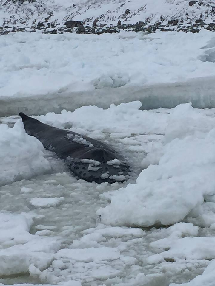 Whale Release and Strandings says the ice in Cook's Cove near Old Perlican, N.L., is too thick to navigate with an icebreaker and they wouldn't be able to euthanize the distressed animal. (Photo: Whale Release and Strandings/ Facebook)