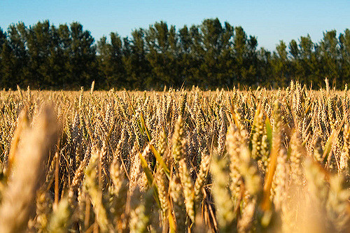 Eric and Maxine Watson entered the Guinness World Records after producing 16.791 tons of wheat per hectare, beating the previous record of 16.519 tons set by a British farmer in 2015. (Photo: Shaun Dunmall/ Flickr)