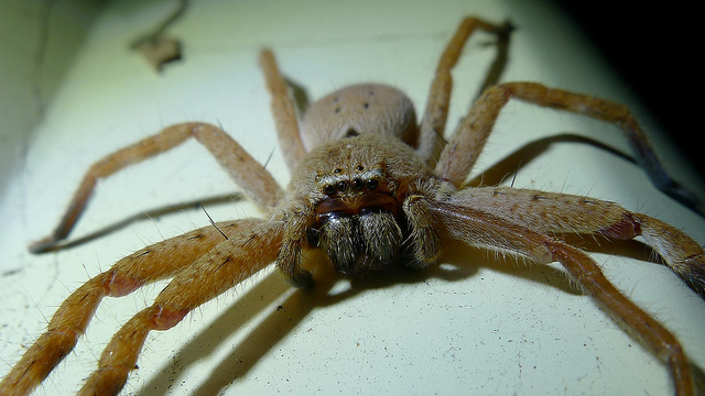 A man from the Philippines visiting Australia has had his legs amputated and could lose his arms after being bitten by a white-tailed spider. (Photo: John Tann/ Flickr)