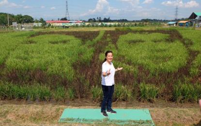 The rice paddy art, which is part of the Philippine Rice Research Institute's (PhilRice) FutureRice project, reportedly piqued the interest of tourists from all over the country. (Photo: Philippine News Agency)