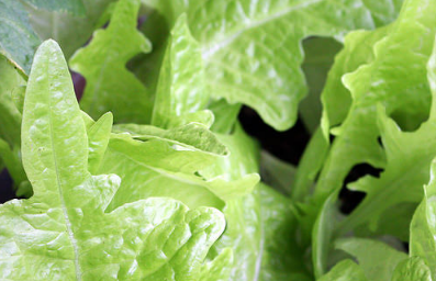 Police are using a few puns in an effort to bring attention to a large lettuce theft in Hamilton. (Photo: Till Westermayer/Flickr)