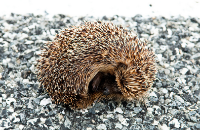 "A Calgary wildlife centre has cured a porcupine with a snoring problem. (Photo: Wagner T. Cassimiro ""Aranha""/Flickr)"