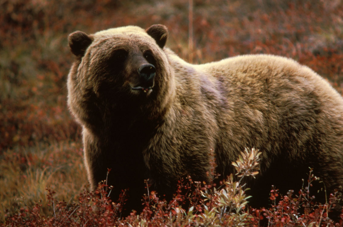 Grizzly bear trophy hunting will be banned in British Columbia this fall