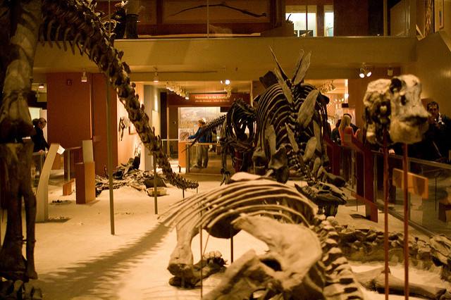 The Denver Post reported Tuesday that the donation is the largest the museum has received. Among the bones are skulls, vertebrae and limbs of a duck-billed dinosaur called edmontosaurus, or hadrosaur. (Photo by Shireen Garcia/Flickr, CC BY-ND 2.0)