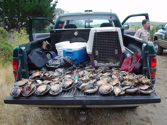 California wildlife officials have voted to cancel the 2018 abalone fishing season due to concerns about mass starvation among the mollusks along Sonoma and Mendocino coasts. (Photo by California Department of Fish and Wildlife/Flickr, CC BY 2.0)