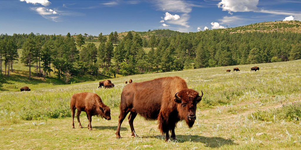 Bison Bison - Custer State Park. SD. USA. (Photo: By Guimir - Own work, Public Domain)