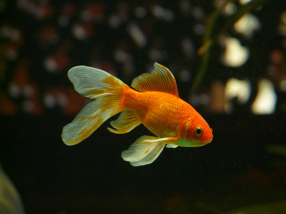 What they discovered were goldfish — plain, sickly and living off ash in a grimy tub. (Pixabay photo)