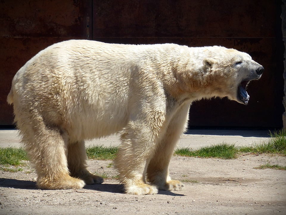 Polar bears are able to go months without food, but Stirling says that a slightly longer period without food, combined with the fact that there is less time for bears to store fat and eat enough seal, could be what is causing bears to die of starvation. (Pixabay photo)