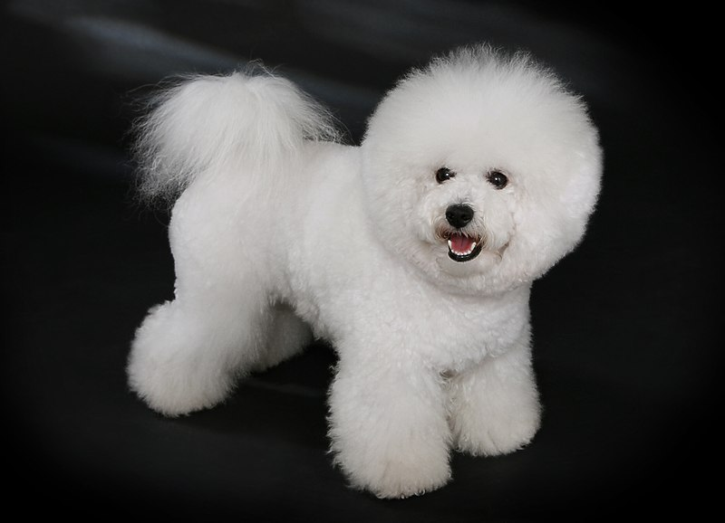 reinrassiger Bichon Frisé (Photo By Heike Andres - Own work, CC BY-SA 3.0 de)